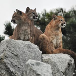 cougars at Cougar Mountain Zoo