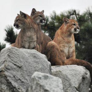 cougars at Cougar Mountain Zoo
